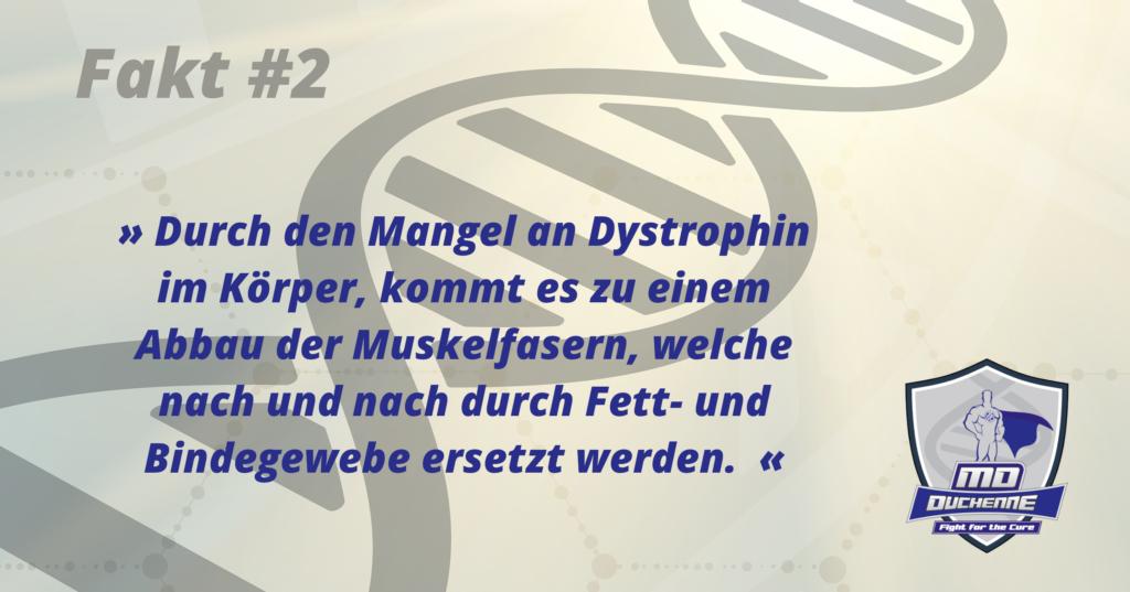 Fakt #2 » Durch den Mangel an Dystrophin im Körper, kommt es zu einem Abbau der Muskelfasern, welche nach und nach durch Fett- und Bindegewebe ersetzt werden. «
